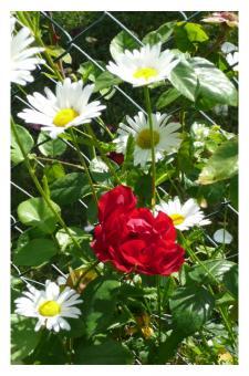 Fotokarte - Rose am Gartenzaun
