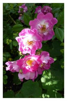 Fotokarte - Rose 'Sibelius'