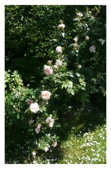 Fotokarte - Rose 'Colette'