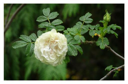 Fotokarte - Rose 'Blanc double de Coubert'
