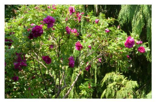 Fotokarte - Rose 'Roseraie de L'Hay'